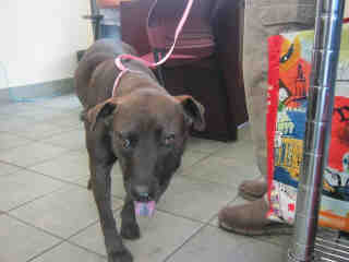 Mix-Bred AMERICAN STAFFORDSHIRE TERRIER Female  Adult  Dog #A353052#  - click here to view larger pic