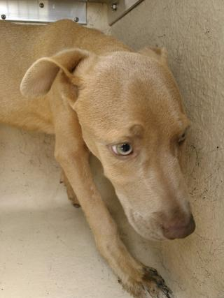 Mix-Bred WEIMARANER Male  Young  Puppy #A353055#  - click here to view larger pic