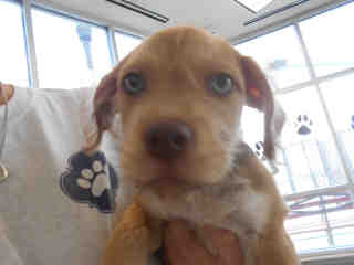 Mix-Bred TERRIER Male  Young  Puppy #A353064#  - click here to view larger pic