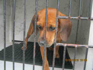 Mix-Bred BEAGLE Female  Adult  Dog #A353066#  - click here to view larger pic