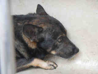 SHEPHERD Male  Adult  Dog #A353067#  - click here to view larger pic