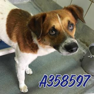 Mix-Bred LABRADOR RETRIEVER Male  Adult  Dog #A358597#  Animal Care Services (San Antonio) - click here to view larger pic