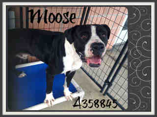 Mix-Bred GREAT DANE Male  Adult  Dog #A358845#  Animal Care Services (San Antonio) - click here to view larger pic