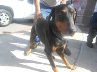 <u>DOBERMAN PINSCHER Male  Adult  Dog </u>