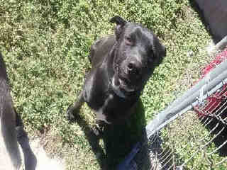 Mix-Bred LABRADOR RETRIEVER Male  Young  Puppy #A365235#  Animal Care Services (San Antonio) - click here to view larger pic