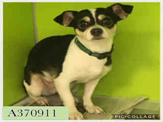 CHIHUAHUA - SMOOTH COATED Female  Adult  Dog #A370911#  Animal Care Services (San Antonio) - click here to view larger pic