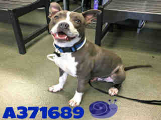 <u> Mix-Bred PIT BULL TERRIER Male  Adult  Dog  (Secondary Breed: BLEND)</u>