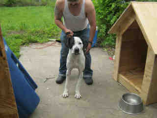 <u>GREAT DANE Male  Adult  Dog </u>