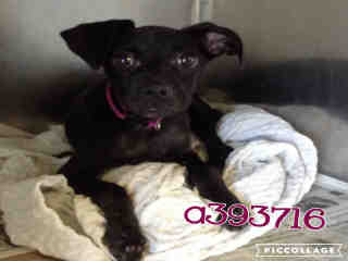 Mix-Bred LABRADOR RETRIEVER Female  Young  Puppy #A393716#  Animal Care Services (San Antonio) - click here to view larger pic