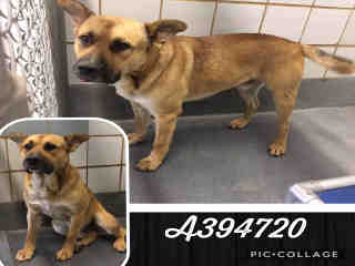 Mix-Bred SHEPHERD Male  Adult  Dog #A394720#  Animal Care Services (San Antonio) - click here to view larger pic