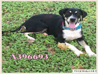 Mix-Bred SHEPHERD Female  Young  Puppy #A396693#  Animal Care Services (San Antonio) - click here to view larger pic