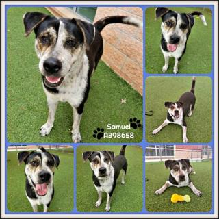 SHEPHERD Male  Adult  Dog #A398658#  Animal Care Services (San Antonio) - click here to view larger pic