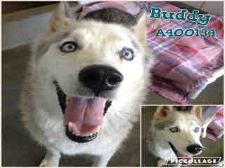 <u>ALASKAN HUSKY Male  Adult  Dog </u>