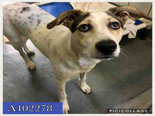 Mix-Bred AUSTRALIAN SHEPHERD Female  Young  Puppy #A402278#  Animal Care Services (San Antonio) - click here to view larger pic