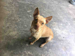 <u>CHIHUAHUA - SMOOTH COATED Male  Adult  Dog </u>