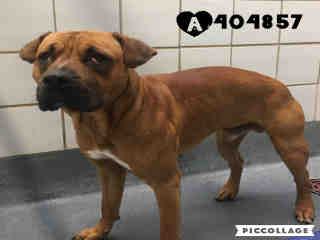 Mix-Bred MASTIFF Male  Young  Puppy #A404857#  Animal Care Services (San Antonio) - click here to view larger pic