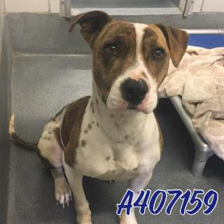 <u>AMERICAN STAFFORDSHIRE TERRIER Male  Adult  Dog </u>