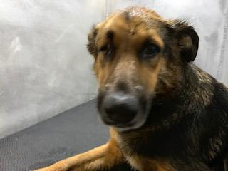 <u> Mix-Bred SHEPHERD Female  Adult  Dog  (Secondary Breed: BLEND)</u>