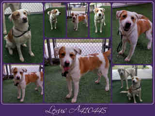 Mix-Bred LABRADOR RETRIEVER Female  Adult  Dog #A410445#  Animal Care Services (San Antonio) - click here to view larger pic