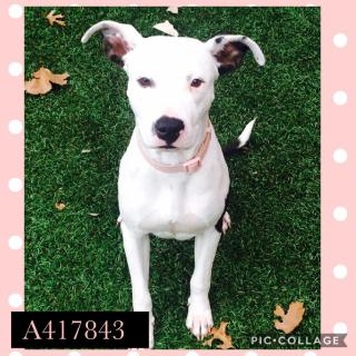 AMERICAN STAFFORDSHIRE TERRIER Female  Adult  Dog #A417843#  Animal Care Services (San Antonio) - click here to view larger pic