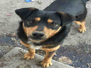 <u> Mix-Bred ROTTWEILER Male  Young  Puppy  (Secondary Breed: BLEND)</u>