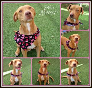 Mix-Bred LABRADOR RETRIEVER Female  Young  Puppy #A420377#  Animal Care Services (San Antonio) - click here to view larger pic