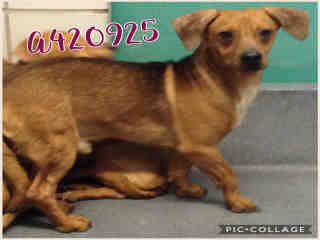 Mix-Bred DACHSHUND Male  Adult  Dog #A420925#  Animal Care Services (San Antonio) - click here to view larger pic