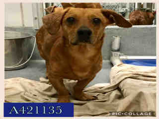Mix-Bred DACHSHUND Male  Adult  Dog #A421135#  Animal Care Services (San Antonio) - click here to view larger pic