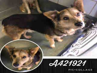 Mix-Bred SHEPHERD Male  Young  Puppy #A421921#  Animal Care Services (San Antonio) - click here to view larger pic