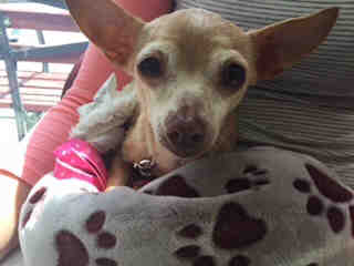 Mix-Bred CHIHUAHUA - SMOOTH COATED Female  Adult  Dog #A423286#  Animal Care Services (San Antonio) - click here to view larger pic