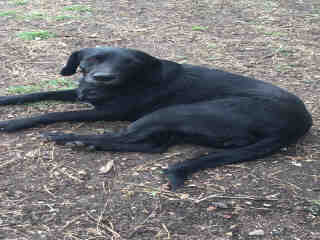 Mix-Bred LABRADOR RETRIEVER Female  Adult  Dog #A423431#  Animal Care Services (San Antonio) - click here to view larger pic
