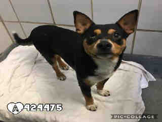 Mix-Bred TERRIER Male  Adult  Dog #A424475#  Animal Care Services (San Antonio) - click here to view larger pic