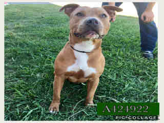 <u> Mix-Bred AMERICAN STAFFORDSHIRE TERRIER Male  Young  Puppy  (Secondary Breed: BLEND)</u>