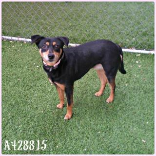 <u> Mix-Bred MANCHESTER TERRIER Female  Adult  Dog  (Secondary Breed: BLEND)</u>