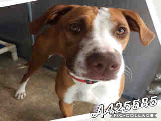 Mix-Bred POINTER Female  Young  Puppy #A425585#  Animal Care Services (San Antonio) - click here to view larger pic