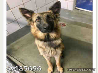 <u>GERMAN SHEPHERD DOG Female  Young  Puppy </u>