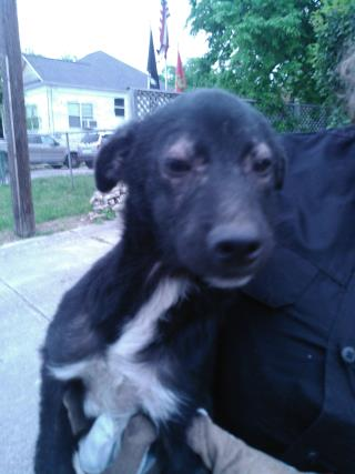<u> Mix-Bred BORDER COLLIE Female  Young  Puppy  (Secondary Breed: BLEND)</u>