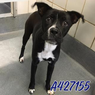 Mix-Bred AMERICAN STAFFORDSHIRE TERRIER Female  Adult  Dog #A427155#  Animal Care Services (San Antonio) - click here to view larger pic