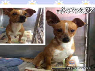 Mix-Bred CHIHUAHUA - SMOOTH COATED Female  Adult  Dog #A427727#  Animal Care Services (San Antonio) - click here to view larger pic