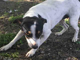 <u> Mix-Bred RAT TERRIER Female  Young  Puppy  (Secondary Breed: BLEND)</u>