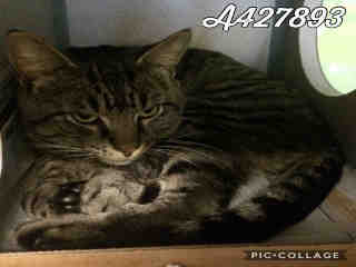 Mix-Bred DOMESTIC SHORTHAIR Male  Adult  Cat #A427893#  Animal Care Services (San Antonio) - click here to view larger pic