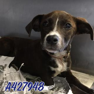 Mix-Bred LABRADOR RETRIEVER Female  Young  Puppy #A427948#  Animal Care Services (San Antonio) - click here to view larger pic
