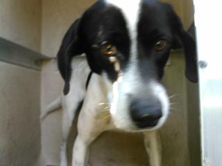 Mix-Bred LABRADOR RETRIEVER Male  Young  Puppy #A428022#  Animal Care Services (San Antonio) - click here to view larger pic