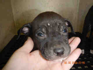 <u> Mix-Bred STAFFORDSHIRE BULL TERRIER Male  Young  Puppy  (Secondary Breed: BLEND)</u>