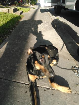 <u> Mix-Bred DOBERMAN PINSCHER Male  Young  Puppy  (Secondary Breed: BLEND)</u>