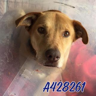 Mix-Bred LABRADOR RETRIEVER Male  Adult  Dog #A428261#  Animal Care Services (San Antonio) - click here to view larger pic