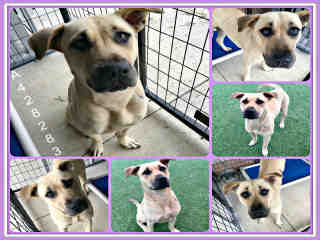 Mix-Bred LABRADOR RETRIEVER Female  Adult  Dog #A428283#  Animal Care Services (San Antonio) - click here to view larger pic