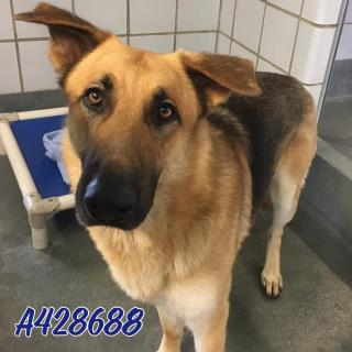 <u>GERMAN SHEPHERD DOG Male  Adult  Dog </u>