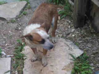 Mix-Bred AUSTRALIAN CATTLE DOG Female  Adult  Dog #A428692#  Animal Care Services (San Antonio) - click here to view larger pic