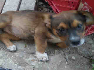 <u> Mix-Bred AUSTRALIAN CATTLE DOG Female  Young  Puppy  (Secondary Breed: BLEND)</u>